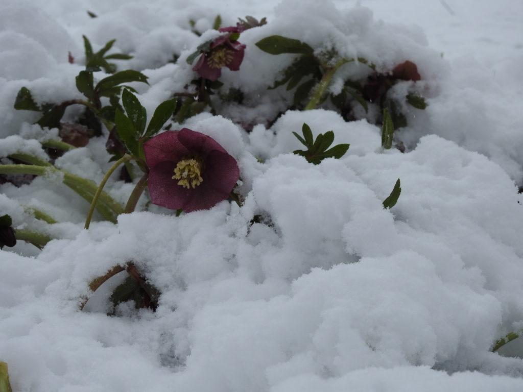 Snow on the Lenten Rose